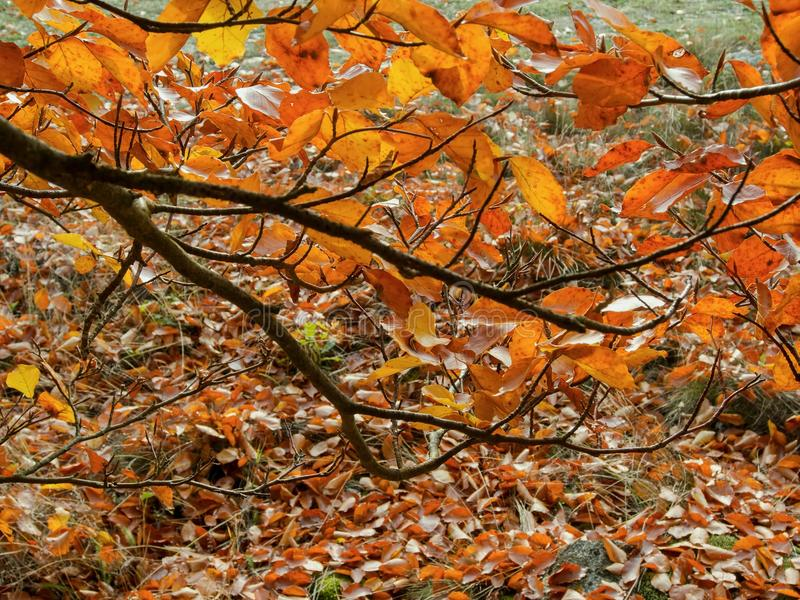 Ветвь бука с золотыми листьями осени 2 стоковая фотография