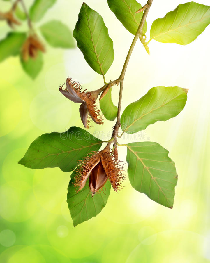Ветвь бука с beechnuts стоковое изображение