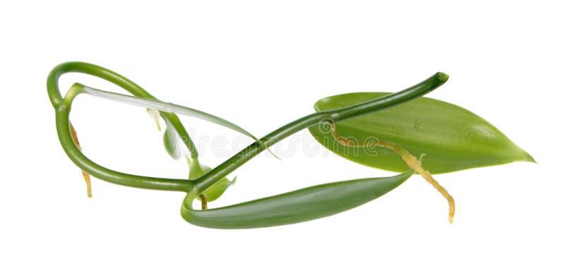 Ветвь ванильного planifolia или плоск-leaved ванильного завода с зеленой лист стоковое изображение rf