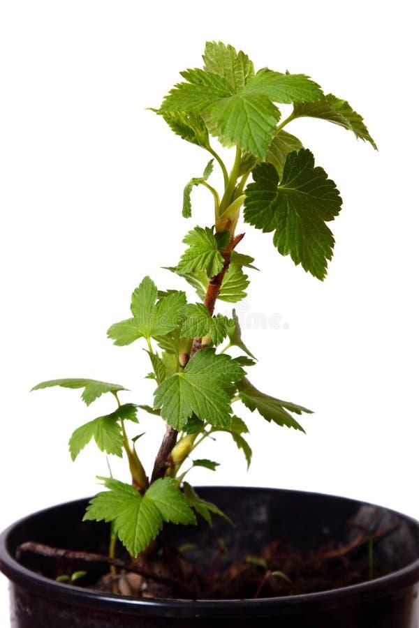 Download Ветвь весны смородины. стоковое фото. изображение насчитывающей изолировано - 33734714