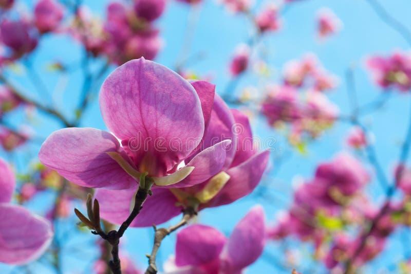 Ветвь весны с розовыми цветками яблока стоковая фотография