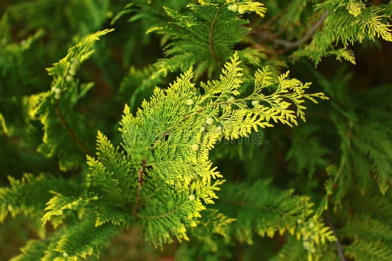 Ветвь вечнозеленого кипариса с конусами стоковые фотографии rf