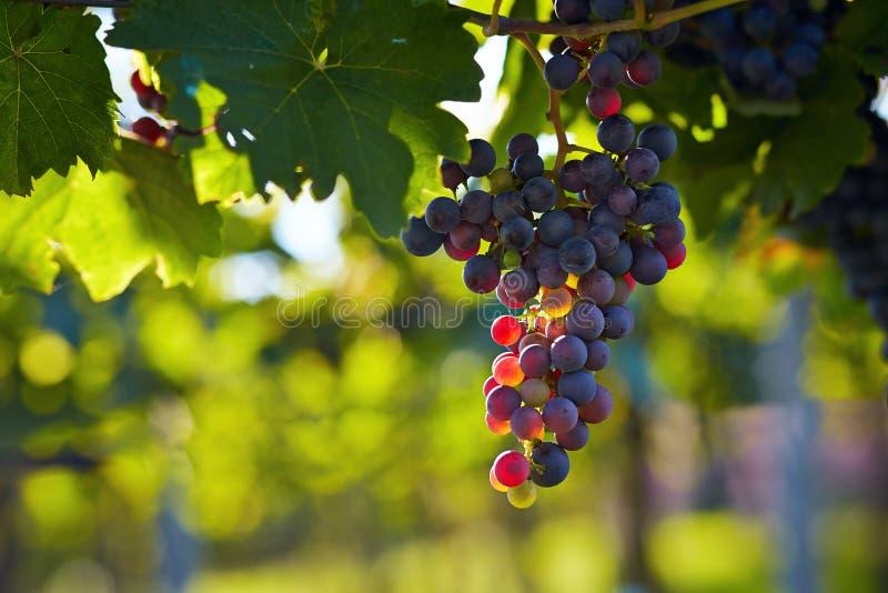 Ветвь виноградин красного вина стоковые фотографии rf