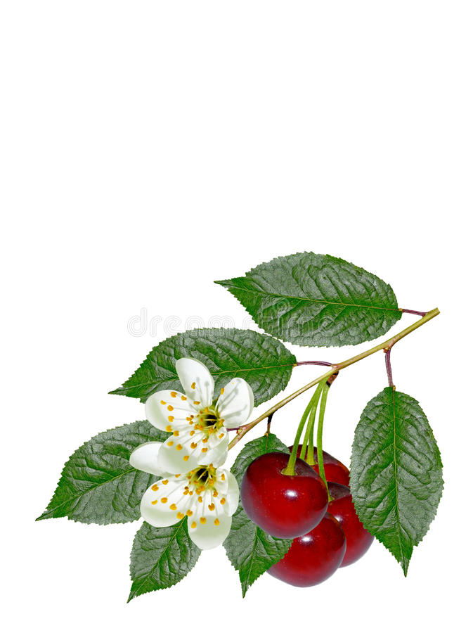Ветвь вишен ягод стоковые изображения rf