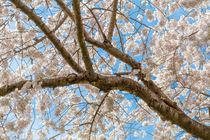 Ветвь вишневого дерева стоковая фотография rf