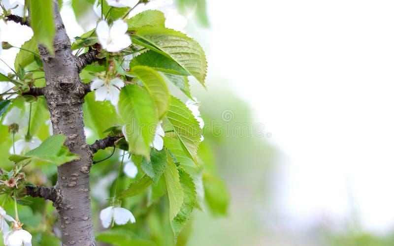 Ветвь вишневых цветов Весна стоковые изображения