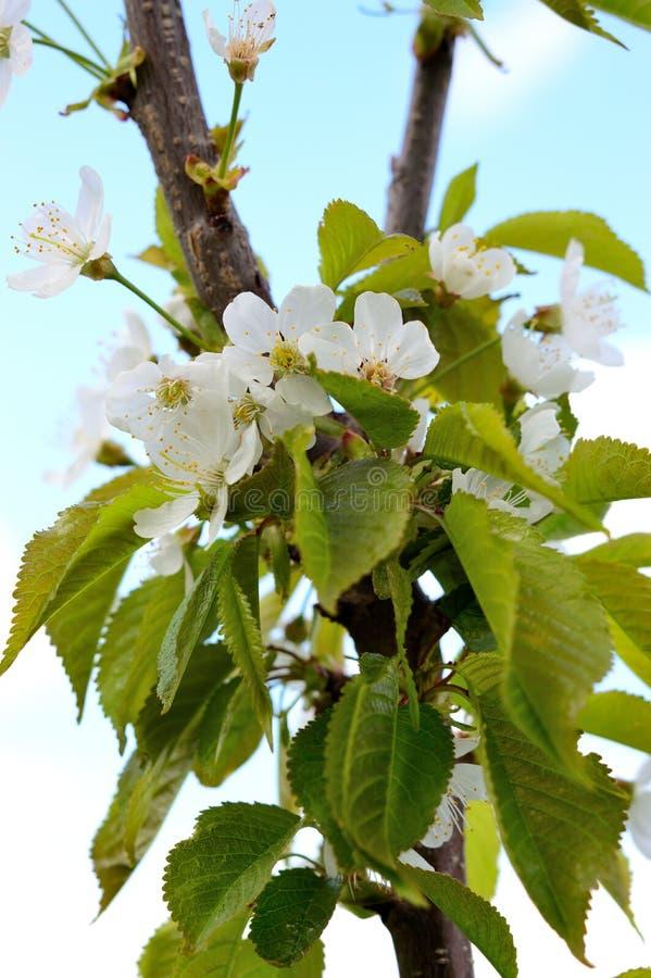 Ветвь вишневых цветов Весна стоковые изображения rf