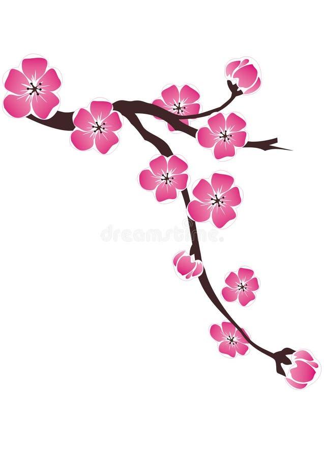 Ветвь вишневых цветов на белой предпосылке стоковое фото rf