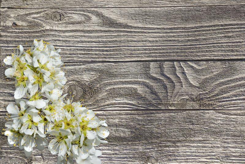 Ветвь вишни весны blossoming на деревянной старой предпосылке планки стоковое фото rf