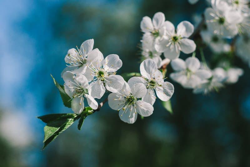 Ветвь вишни стоковое изображение