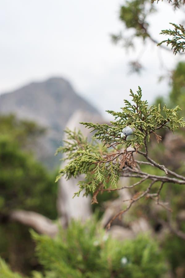 Ветвь горы можжевельника на заднем плане стоковые фото