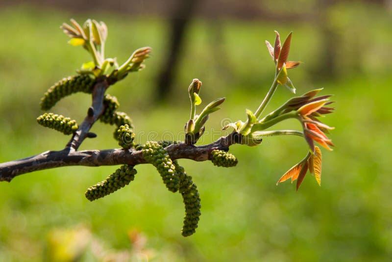 Ветвь грецкого ореха стоковая фотография rf