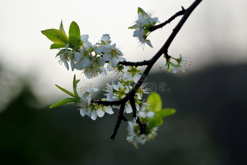 Ветвь грушевого дерев дерева стоковые изображения