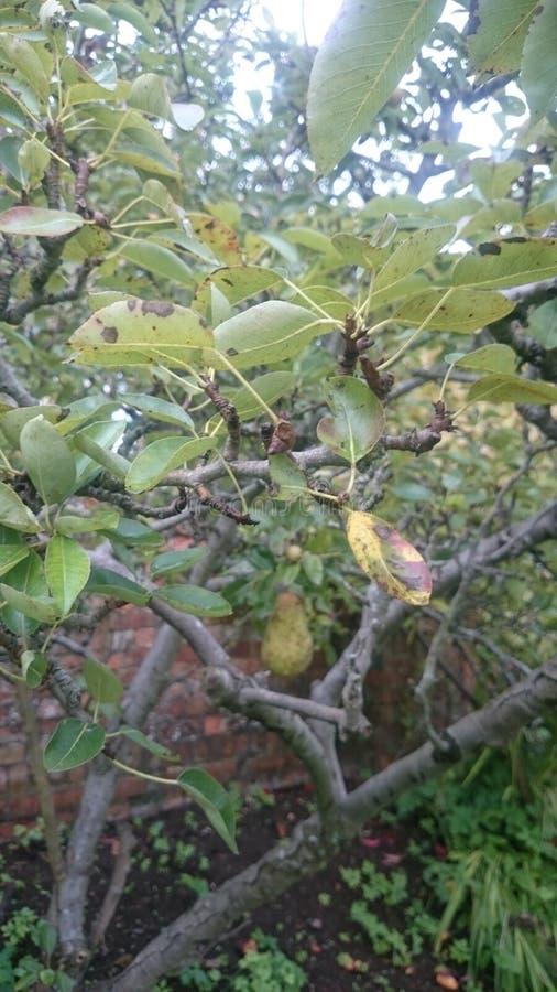 Ветвь грушевого дерев дерева стоковые фото