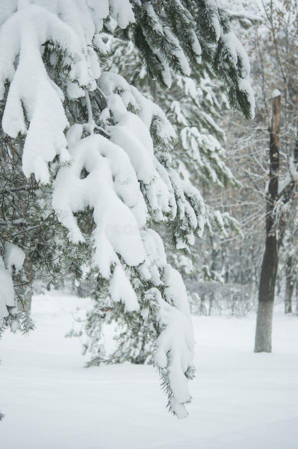 Ветвь дерева ели с снежком стоковая фотография