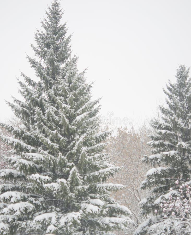 Ветвь дерева ели с снежком стоковое изображение rf