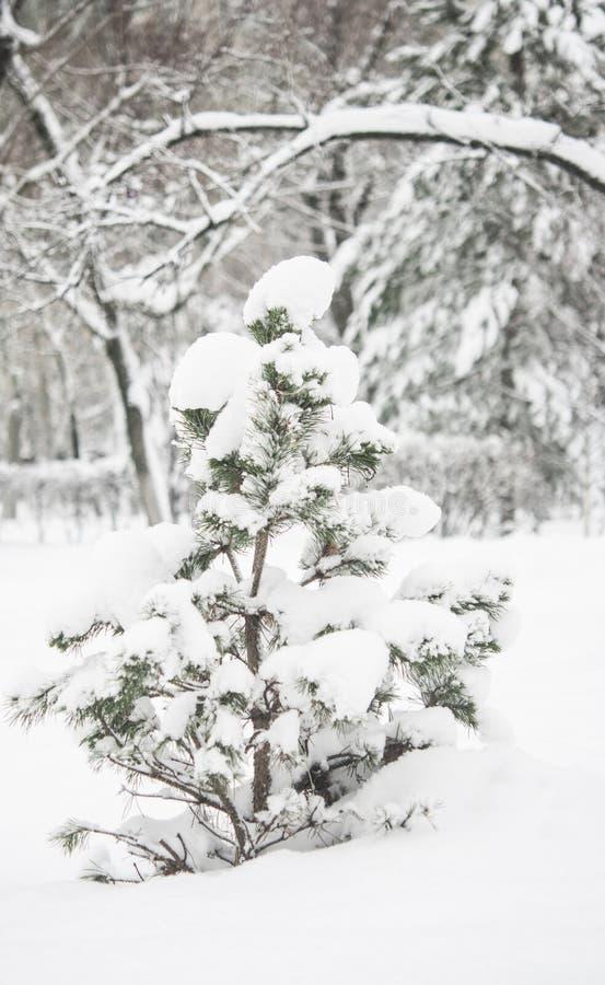 Ветвь дерева ели с снежком стоковые фото