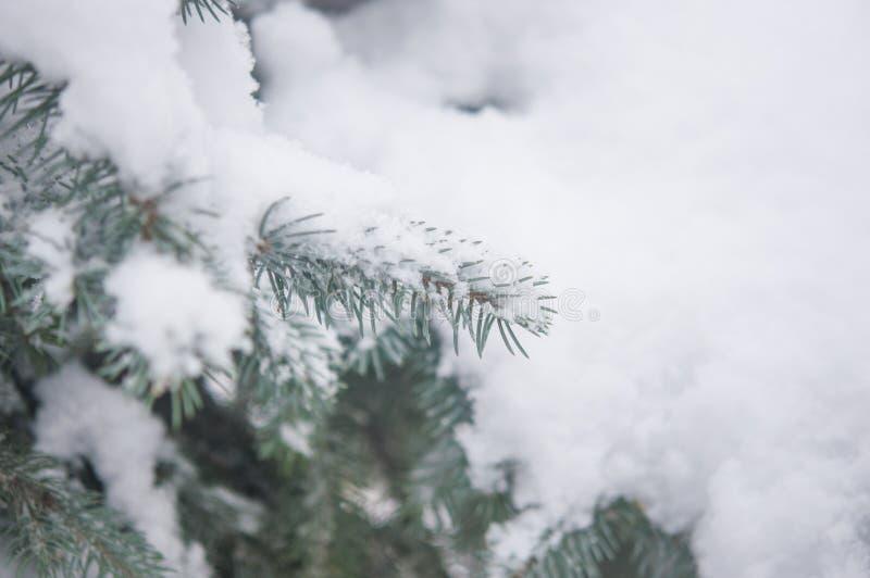Ветвь дерева ели с снежком стоковые изображения