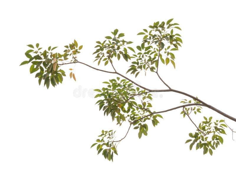 Ветвь дерева изолированная на белой предпосылке стоковое фото rf