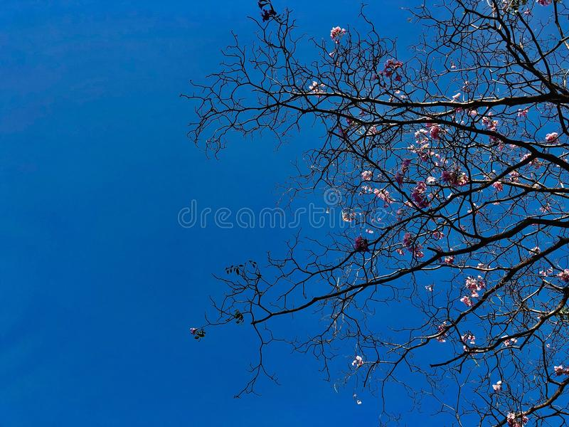 Ветвь дерева и розовый цветок с голубым небом стоковые фото