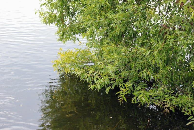 Ветвь дерева согнула над озером стоковая фотография