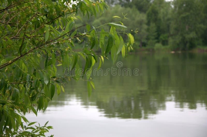 Ветвь дерева с листвой согнутой над озером леса в котором деревья отражены : стоковое изображение
