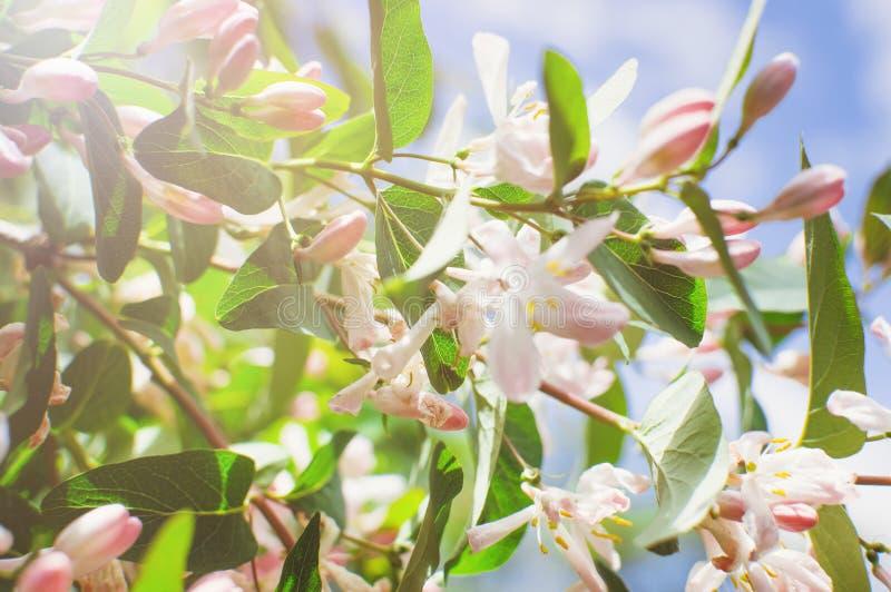 Ветвь дерева с розовыми цветками, нежная предпосылка крупный план, мягкий фокус стоковые изображения rf