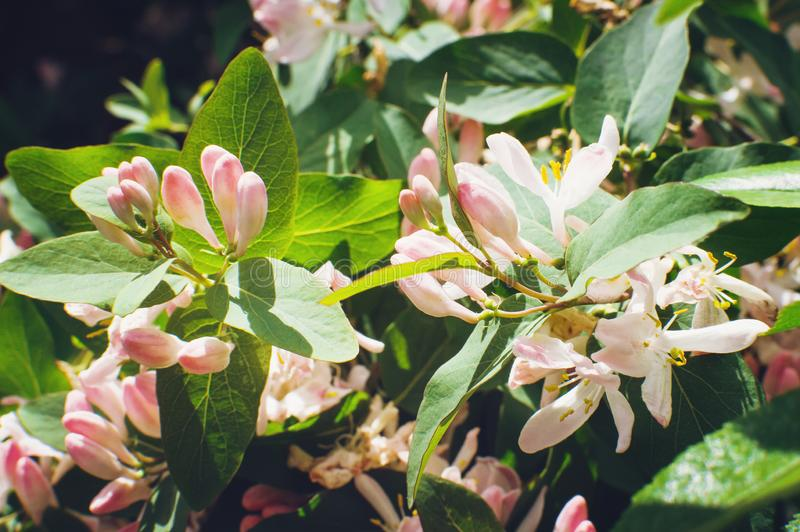 Ветвь дерева с розовыми цветками, нежная предпосылка крупный план, мягкий фокус стоковое фото rf
