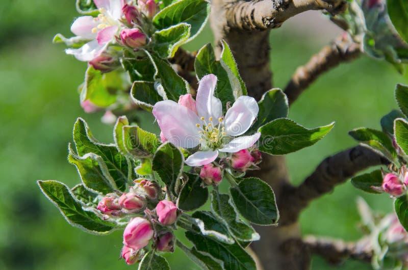 Ветвь дерева цветения стоковое изображение rf