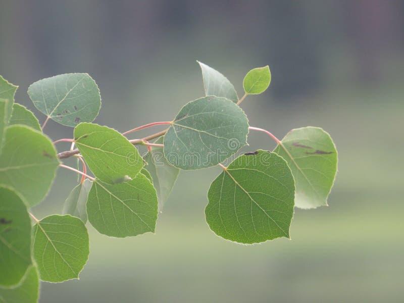 Ветвь дерева Aspen стоковые фотографии rf