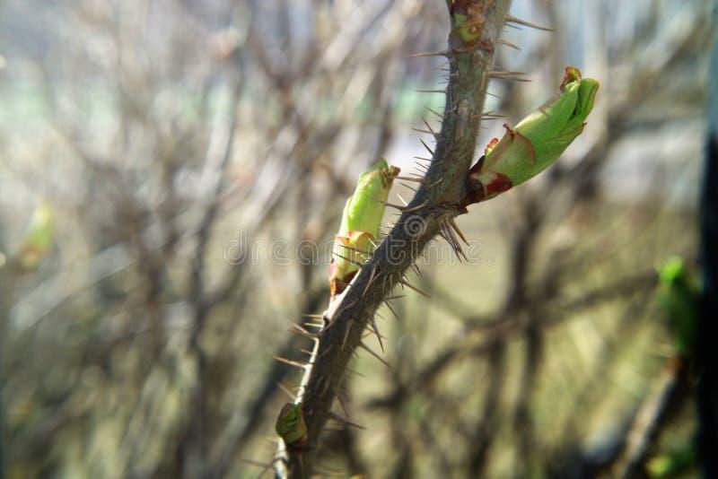 Ветвь дикой розы молодые листья и фото макроса терниев стоковое фото rf