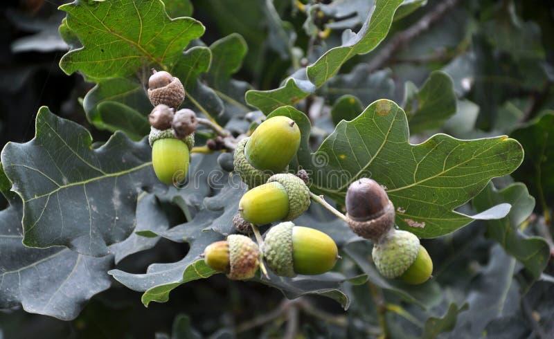Ветвь дуба с жолудями стоковая фотография