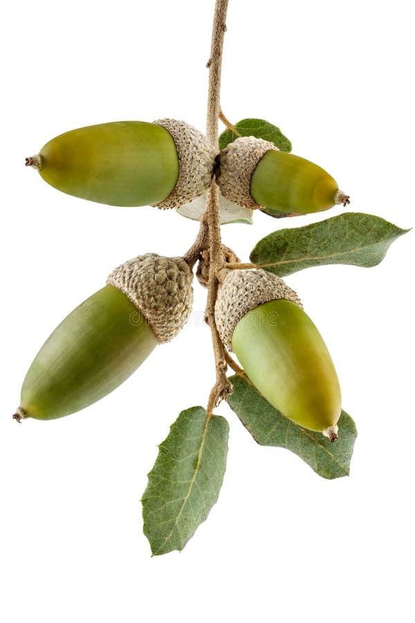 Ветвь дуба Holm с жолудями стоковая фотография rf