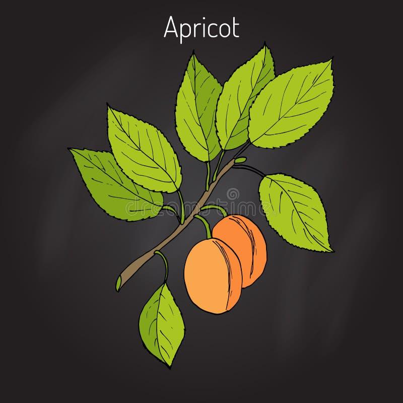 Ветвь дерева абрикоса иллюстрация вектора