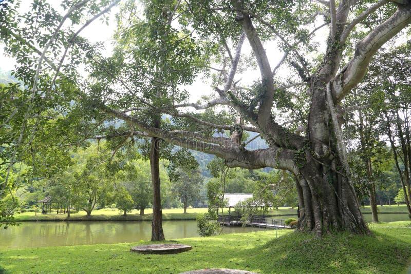 Ветвь дерева обеспечивает тень для того чтобы создать пышную тварь и посетителя Национальный парк Sukhothai Satchanalai стоковое изображение rf