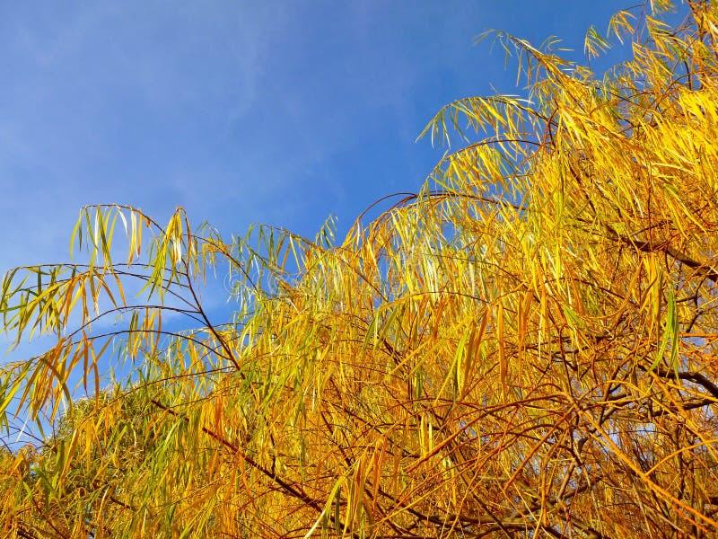 Ветвь дерева осени с желтым цветом выходит - взгляд снизу стоковые фото