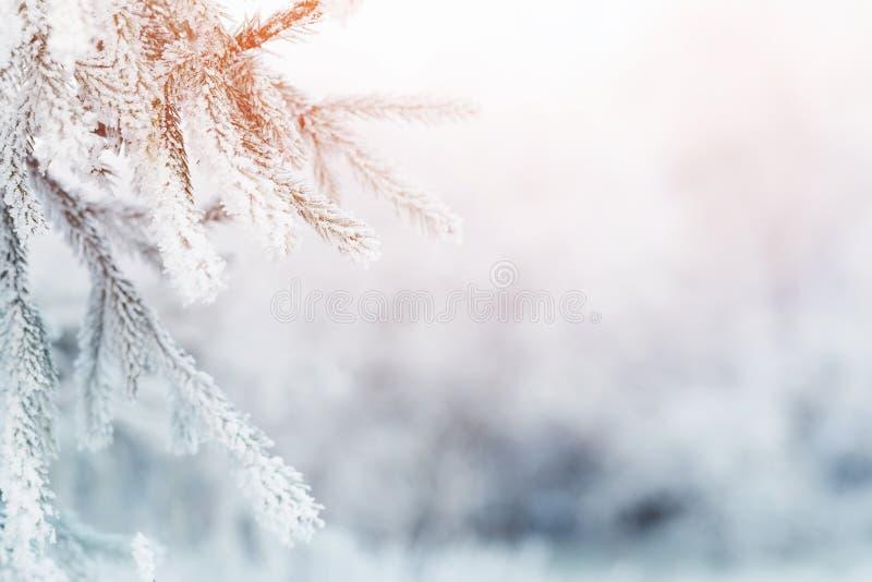 Ветвь ели в налет инее на холодном утре стоковое изображение