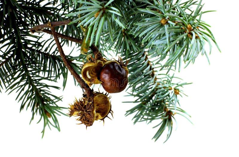 Ветвь ели изолированная на белизне с высушенным шиповатым плодоовощ деревьев конского каштана стоковые фотографии rf