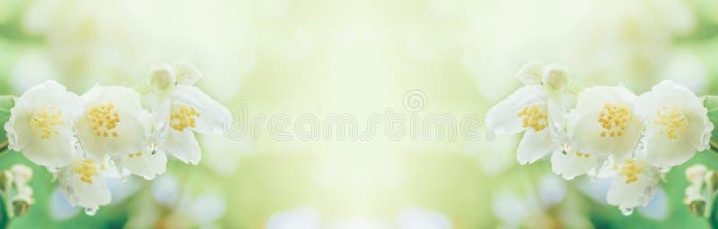 Ветвь жасмина цветет с дождевыми каплями в мягком солнечном свете утра стоковое изображение rf