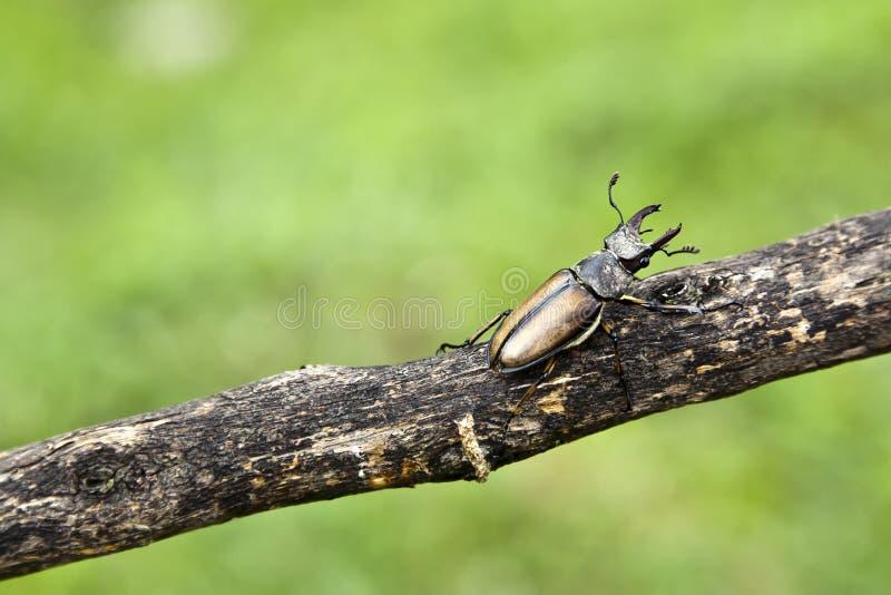 ветвь жука стоковое изображение rf