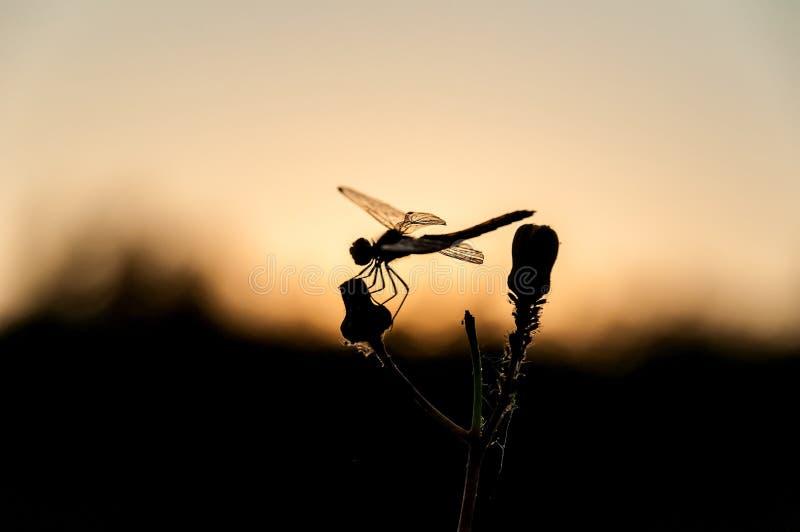 Ветвь захода солнца Dragonfly стоковые фотографии rf