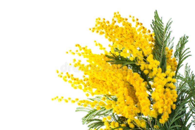 Ветвь зацветая желтого dealbata акации, изолированная на белой предпосылке стоковая фотография rf