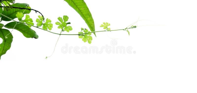 Ветвь зеленого растения изолированная на белизне стоковые изображения rf