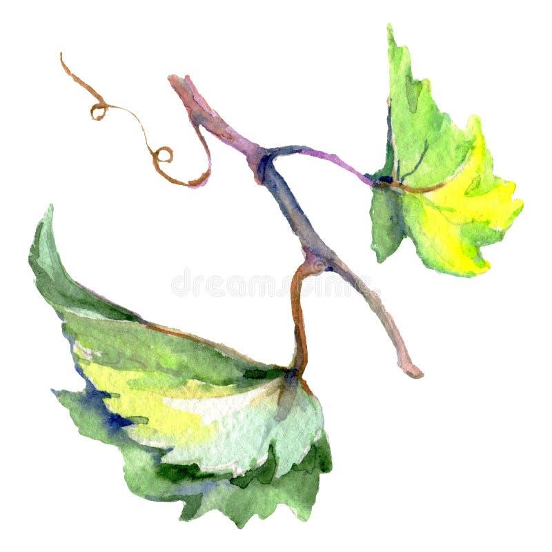 Ветвь зеленых листьев лозы r Изолированный элемент иллюстрации виноградины иллюстрация вектора