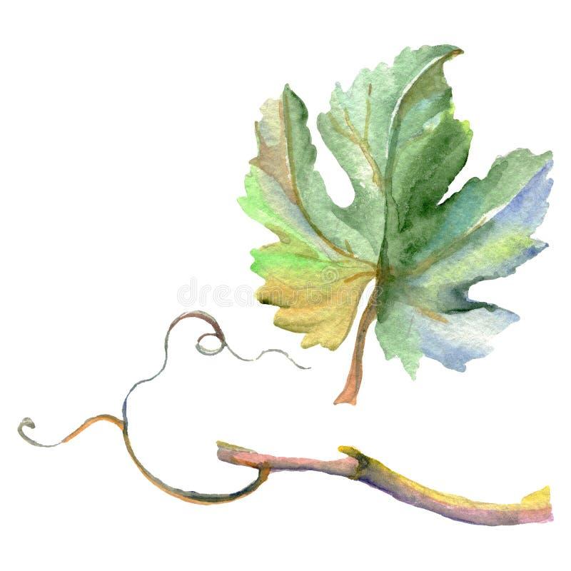 Ветвь зеленых листьев лозы r Изолированный элемент иллюстрации виноградины бесплатная иллюстрация