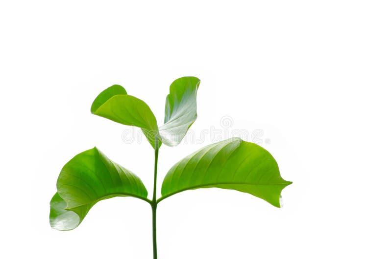 Ветвь зеленых листьев koetjape Sandoricum завода Santol изолированного на белой предпосылке стоковое фото rf