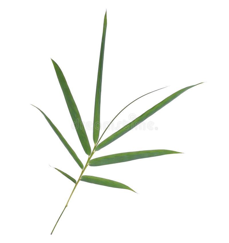 Ветвь зеленых листьев бамбука изолированных на белизне стоковые фото