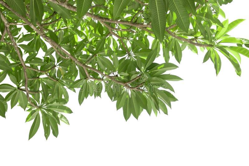 Ветвь зеленых лист frangipani изолированных на белизне стоковая фотография rf
