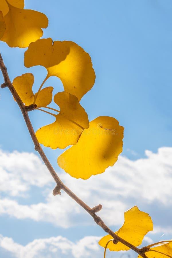 Ветвь листьев Gingko в падении стоковая фотография