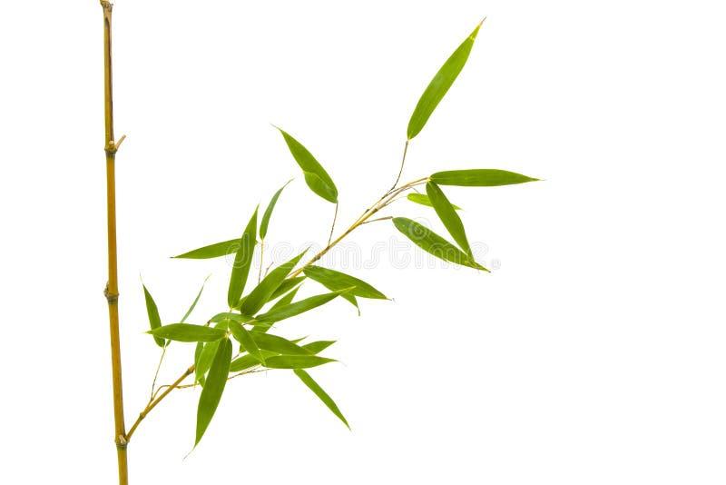 Ветвь и бамбуковые листья на белой предпосылке стоковое изображение